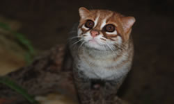 Small Wild Cat Conservation Foundation